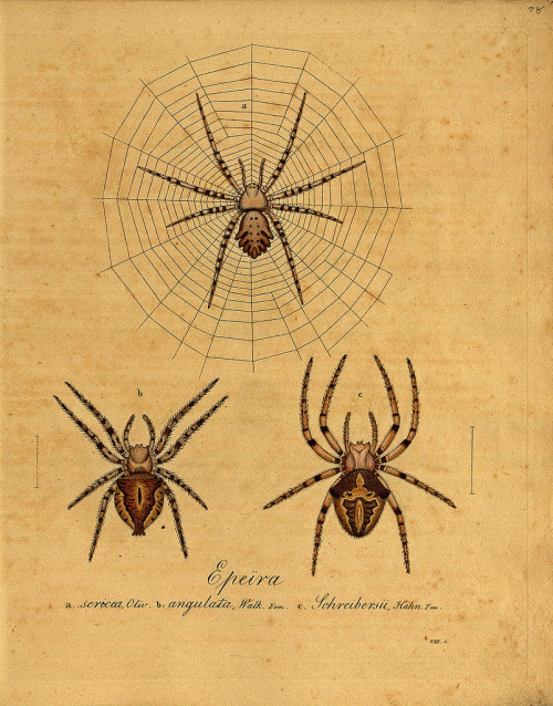 Monograph of Spiders 1820-36 by Carl Wilhelm Hahn